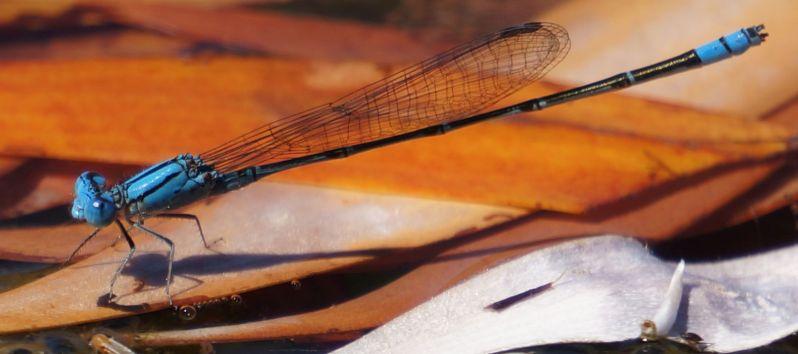 dragon fly 2 - Dimond Gorge, Mornington