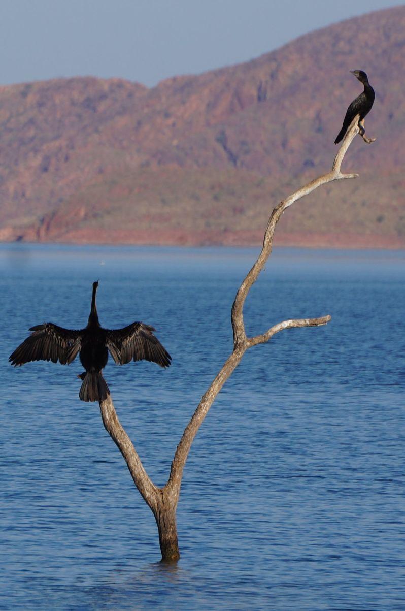 Darter drying wings - Lake Argyle
