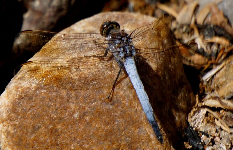 dragon fly - Porcupine Gorge