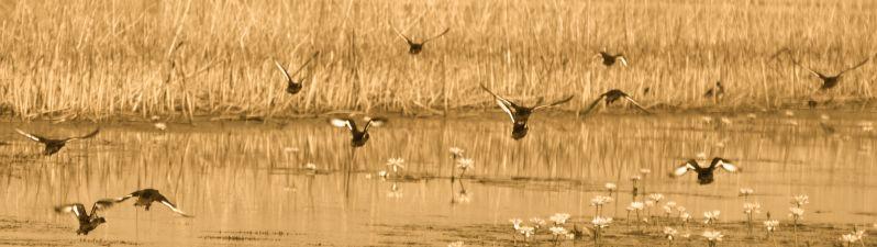 flight of the ducks