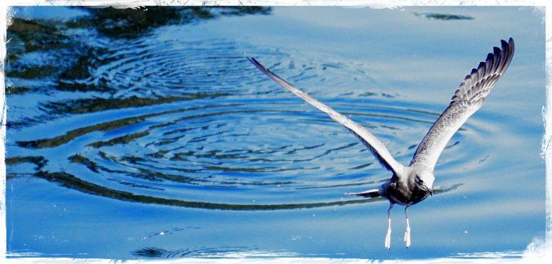 Gulls - Ketchikan 4 - Blue Stroke