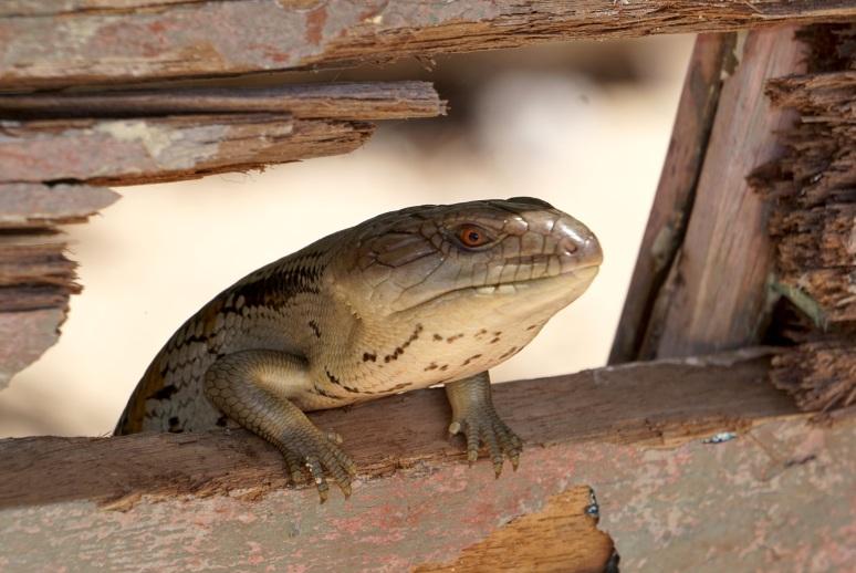 Lizard - Coochiemudlo Island 1